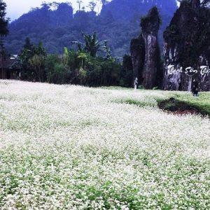buckwheat-flower